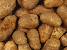 Картофель сортов «Бриз», «Журавинка», «Скарб» ИП Глобалов